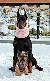 Doberman, Yorkie, Dog, Friendship, Love