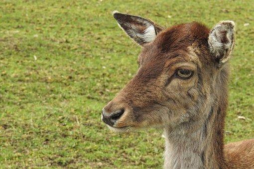 Roe Deer, Fallow Deer, Mammal, Animal, Grass