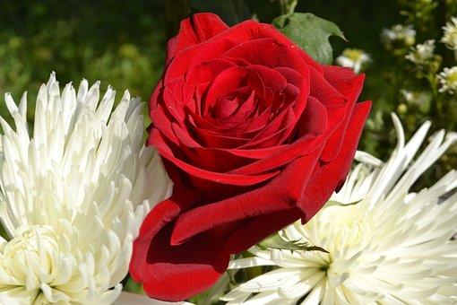 Flower, Nature, Flora, Floral, Summer, Red, Star, Blush