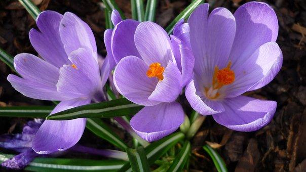 Spring Flowers, Crocus, Flower Chalice, Light Blue