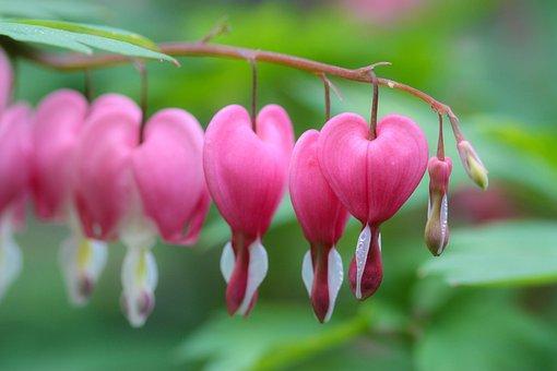 Nature, Flower, Garden, Flora, Leaf, Spring, Heart