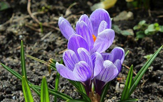 Crocus, Spring Flowers, Spring, April, Nature, Flower