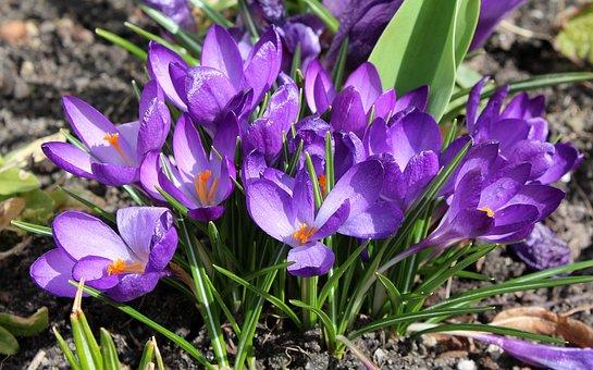 Crocus, Spring Flowers, Violet, Spring, Flower, Nature