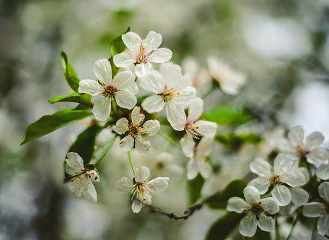 Flower, Plant, Nature, Tree, Cherry, Garden, Freshness