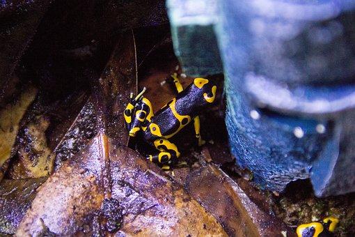 Nature, Animal, Frog, Dart Frog, Yellow, Bumblebee