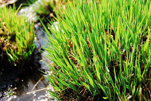 Grass, Plant, Nature, Growth, Leaf, Sedges, Water