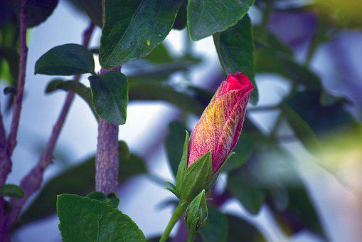 Hibiscus, Bud, Red, Foliage, Nature