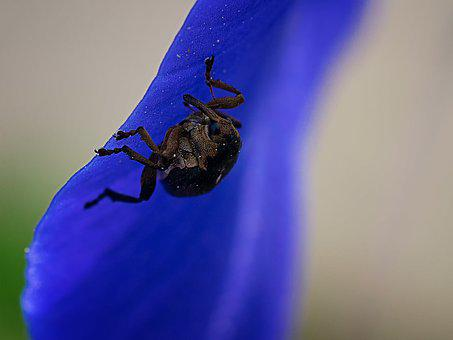 Sword Lily Weevil, Beetle, Pollen, Insect, Macro, Close