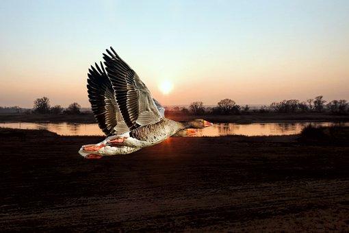 Geese, Greylag Goose, Waters, Nature, River, Lake