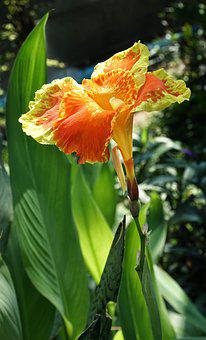 Canna Lily, Lily, Orange, Red, Nature, Flower, Flora