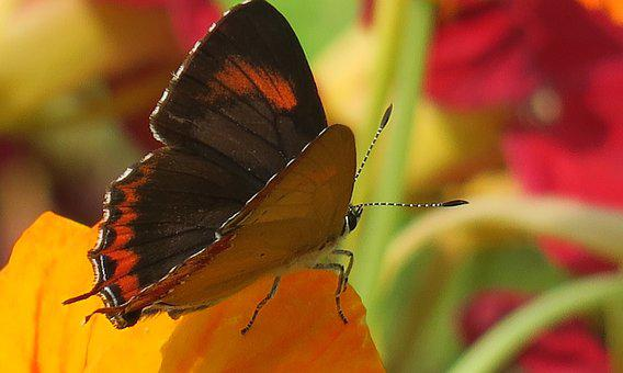 Butterfly, Insect, Nature, Outdoor, Wildlife