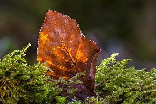 Leaf, Old Leaf, Beech Leaf, Forest, Nature