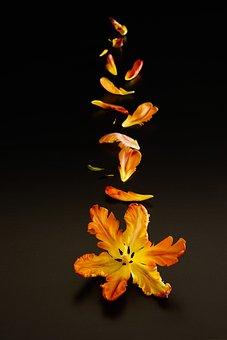 Still Transience Of Life, Tulpenbluete, Petals