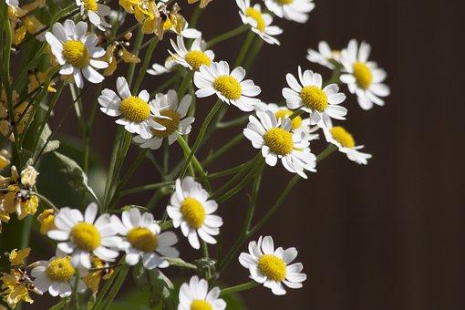 Chamomile, White, Flower, Plant, Medicinal Plant