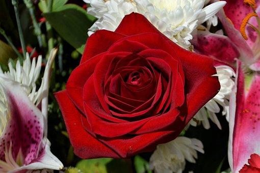 Flower, Rose, Flora, Floral, Nature, Plant, Spring