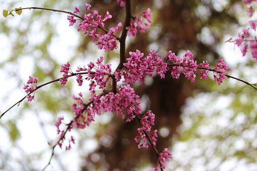 Tree, Branch, Flower, Nature, Season, Cherry, Plant