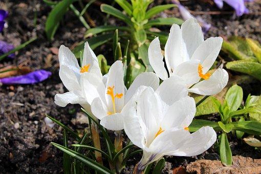 Crocus, Spring Flowers, Spring, White, Flower, Nature