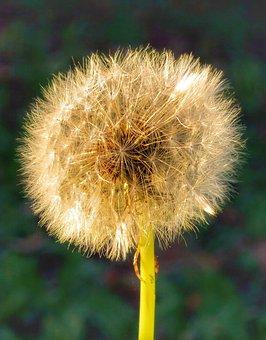 Dandelion, Nature, Summer, Fluffy, Grass, Plant, Flower