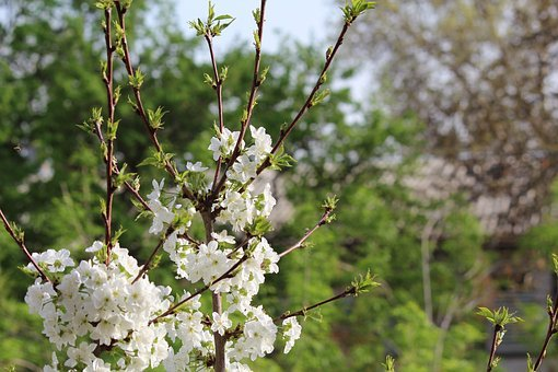 Tree, Flower, Nature, Branch, Plant, Season, Cherry