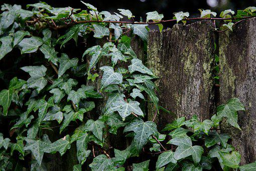 Ivy, Leaf, Climber, Plant, Tree, Fence