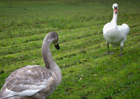Young Vs Old, Duel, Swans, Silent, Gray, White, Nature