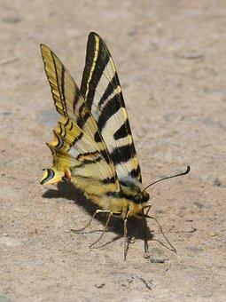 Butterfly Zebra, Polidario, Scarce Swallowtail