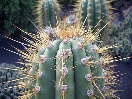 Cactus, Thorn, Desert, Juice Plant, Nature, Dry, Close