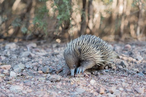 Echidna, Spiny Anteater, Tachyglossidae, Monotreme