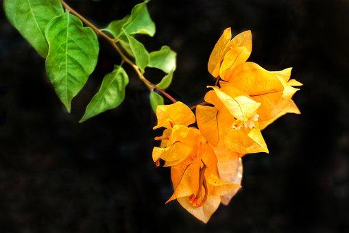 Bougainvillea, Orange, Yellow, Nature, Leaf, Flora