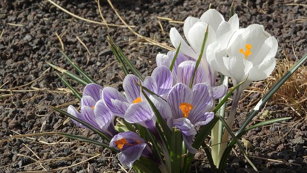 Saffron, Crocus, Flowering šafrány, Spring Flowers