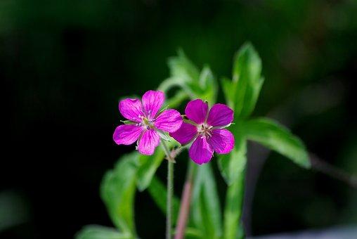Flowers, Nature, Plants, Wildflower, This Cranesbill