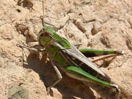 Grasshopper, Green Grasshopper, Lobster, Orthopteron