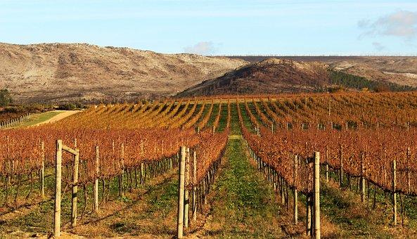 Vineyard, Agriculture, Nature, Outdoors, Landscape