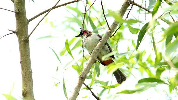 Nature, Tree, Bird, Wildlife, Little, Bulbul, Red