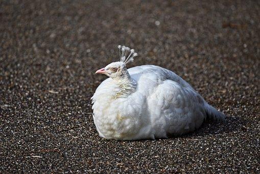 Peafowl, White Peahen, Peahen, Bird, Animal