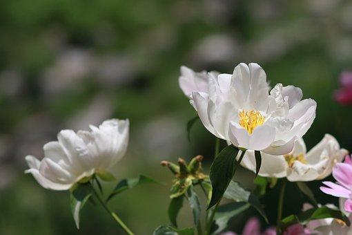Flowers, Nature, Plants, Garden, Leaf