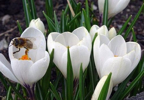 Crocus, Bee, Pollen, Flower, Blossom, Bloom