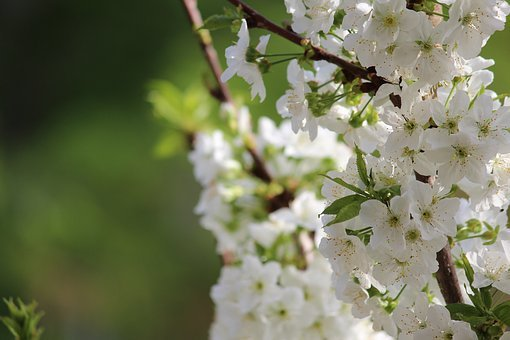 Flower, Nature, Plant, Branch, Tree, Cherry, Blooming
