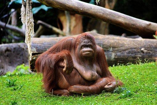 Monkey, Primate, Ape, Jungle, Wood, Wildlife, Animal