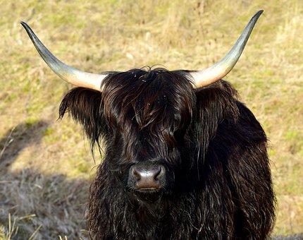 Highland Beef, Scottish, Galloway, Horns, Black, Shaggy