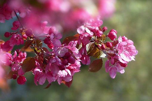 Nature, Blossom, Bloom, Cherry Blossom