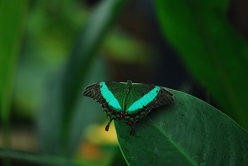 Insect, Butterfly, Nature, Leaf, Evertebrat