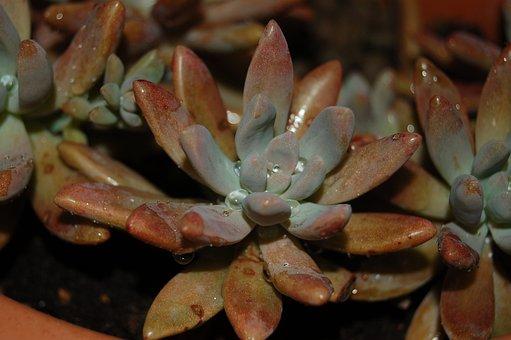 Wallpaper, Nature, Succulent Plant, Crassulacea