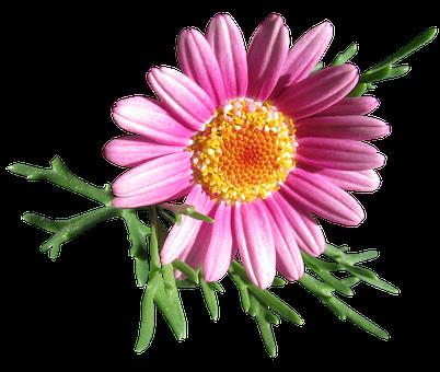 Daisy, Flower, Cut Out