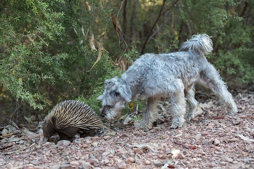 Echidna, Spiny Anteater, Monotreme, Egg-laying Mammal
