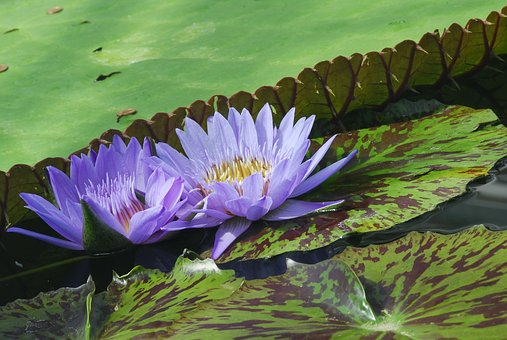 Puddle, Plant, Nature, Flower, Leaf, Water Lily