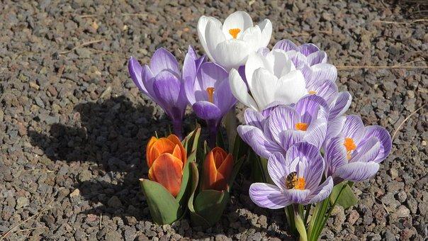 Saffron, Crocus, Flowering šafrány