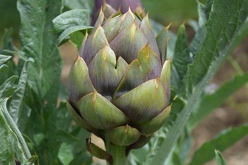 Plant, Food, Nature, Leaf, Flower, Artichoke, Vegetable