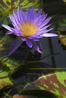 Nature, Plant, Flower, Leaf, Garden, Water Lily