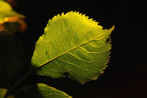 Leaf, Nature, Flora, Outdoors, Growth, Bright, Light
